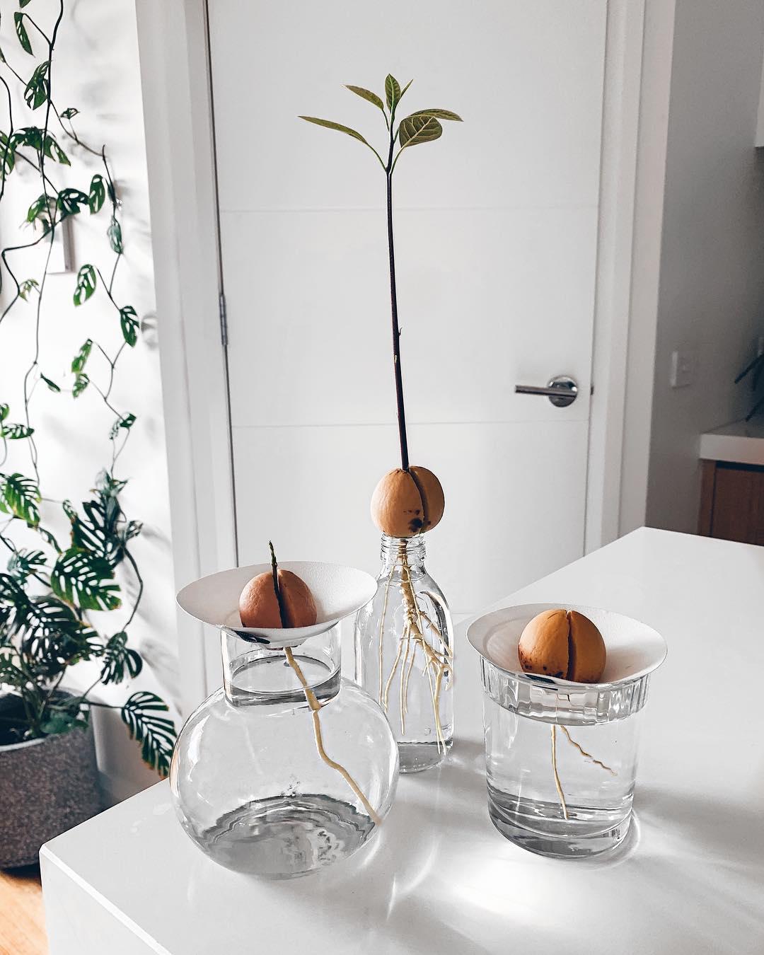 Grow A Avocado Plant Australian Avocados
